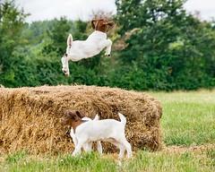 Jump for joy (sasastro) Tags: goats kids animals jumping pentaxk5iis