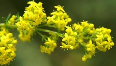 Lady's Bedstraw herb (csimion77) Tags: ladysbedstraw herb naturaltreatments thyroiddisease remedy kidney epilepsy