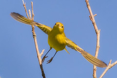 Yellow Warbler in flight (tresed47) Tags: 2016 201608aug 20160822johnheinzbirds birds canon7d content folder johnheinznwr pennsylvania peterscamera petersphotos philadelphia places takenby us warbler yellowwarbler