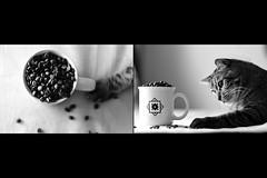 Day Three Hundred Ten (fotoJared) Tags: cat tiger tabby 365 365project nikon fotojared coffee beans cute funny monochrome