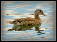 junge Mandarinente (karin_b1966) Tags: vogel bird tier animal natur nature wasser water 2016 mandarinente baldeneyseeinessen ente duck yourbestoftoday