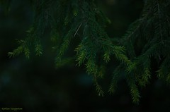 Forest green (- Man from the North -) Tags: branches forest tree dark moody green nature naturallight naturephotography finland photography nikond7000 nikon zenit40285mmf15 helios