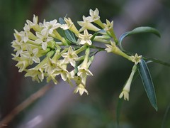Night-blooming jasmine   Cestrum nocturnum (Sheila's collection) Tags:  solanaceae nightblooming jasmine  yellow white flower