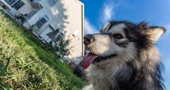 Pup (vadenet) Tags: malamute alaskan dog tongue