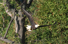 BALD EAGLE in Staten Island, New York, USA. September, 2016 (Tom Turner - SeaTeamImages / AirTeamImages) Tags: bird baldeagle wings winged feathers feathered birding birdwatching spot spotting nature wildlife tomturner statenisland newyork nyc bigapple unitedstates usa trees forest flight flying