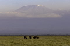 An elephant herd grazes as Mt. Kilimanjaro looms in the distance (quiinc) Tags: kenya africa amboseli elephants safari