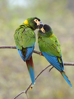 Maracanã-de-colar // Yellow-collared Macaw
