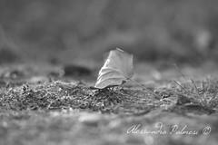 Natura mistica (AlexBlues) Tags: fujifilmxe1 zeiss135 leaf monochrome depth