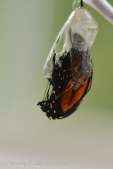 Monarch # 56 (dbifulco) Tags: 56 eclosing emerging insect macro monarchbutterfly nature nikkor105f28 wildlife