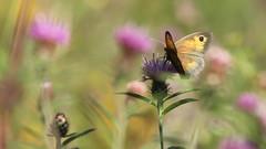 Gatekeeper (likrwy) Tags: queendown warren chalk hillside kent butterfly nature gatekeeper