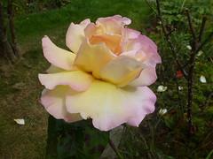 Delicate Rose ! (Mara 1) Tags: bush rose petals pale yellow white green grass