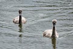 Black Swan Cygnet (iansand) Tags: homebushbay bird cygnet blackswan cygnusatratus taxonomy:binomial=cygnusatratus utata:project=tw544