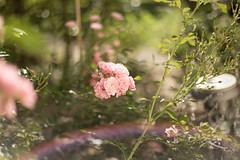 Die unermdliche Rose (Gret B.) Tags: rose blume flower blte blten blhen licht light garten garden rosa natur