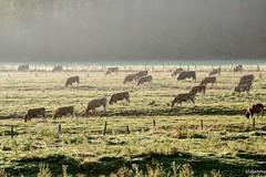08092016-DSC_0002 (vidjanma) Tags: matin troupeau bovins lumire