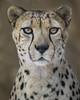 Bakka...One Cool Cat (Penny Hyde) Tags: bigcat cheetah sandiegozoo flickrbigcats