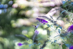 Hummingbird at Butterfly Bush (mangoldm) Tags: cyclop helios helios40 swirly bokeh bokehlicious hummingbird hummingbirds bird birds