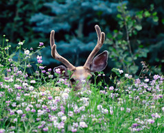 rover in the clover  ~ Explore (Karen McQuilkin) Tags: roverintheclover deer wyoming clover nohunting karenmcquilkin