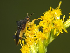 Ambush Bug Hiding on Goldenrod Flowers DSCF7547 (Ted_Roger_Karson) Tags: ambushbug ambushbugseries goldenrodflowers fujifilmxs1 raynoxdcr150 handheldcamera northernillinois fujifilm xs1 ambush bug hand held camera raynox dcr150 boneset flowers backyard animals northern illinois super macro hd lens fuji eyes macrolife m150 macroscopic animal insect outdoor plant flower foliage cluster organic pattern black background depth field