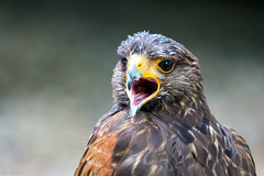 Ahhhh (PeteWPhotography) Tags: hawk shout beak open action call detail close eye animal animalia