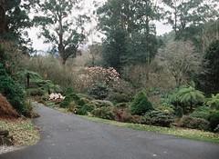 Forest and asphalt footpath at Rhododendron Gardens (Matthew Paul Argall) Tags: 110 110film minolta110zoomslrmarkii lomographyfilm forest garden trees tree treefern ferntree yarraranges footpath
