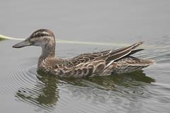 Garganey (Anas querquedula) (www.clivetemple.com) Tags: duck garganey birds uae bird nature dubai