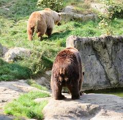 IMG_5256 (jaglazier) Tags: 2016 91416 animals bears bielefeld bielefeldzoo copyright2016jamesaglazier germany mammals september teutoburg teutoburgforest teutoburgerwald zoos parks nordrheinwestfalen