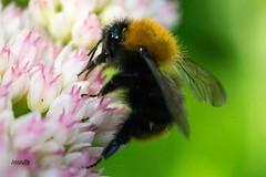 Bumblebee, #Insect , #Photographer , #bloom , #Closeup , #macro , #upclose , #Wildlife , #mothernature , #delicate , #Flora , #beautiful , #splendid , #Bokeh , #photoart , #sunshine , #wanderlust , #flower , #summer , #perspective , #invertebrate , #Expos (jwzw@ymail.com) Tags: bumblebee insect photographer bloom closeup macro upclose wildlife mothernature delicate flora beautiful splendid bokeh photoart sunshine wanderlust flower summer perspective invertebrate exposure garden contrast photography nature outdoor bee color light composition