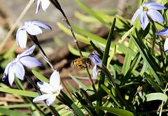 Bee 1 (Paulo McIver) Tags: spring bee swan blackswan australianalps bombala cooma dalgety ephemerallake environment environmental garden highcountry landscape monaro paulmciver southeastaustralia southeastnewsouthwales snowymountains southeastnsw