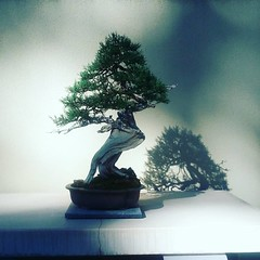 Rocky mountain juniper 1750!