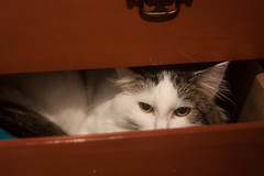 5.36: Hiding Cat (TheBon) Tags: pet silly cat kitty pica kitteh drawer 365 year5 yip project365 apictureaday 2013 fluffins