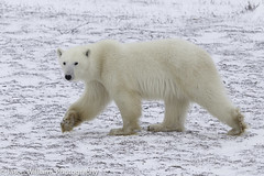 "Polar Bear in Churchill along the Hudson Bay. • <a style=""font-size:0.8em;"" href=""http://www.flickr.com/photos/92120860@N06/8454774948/"" target=""_blank"">View on Flickr</a>"