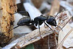 Large Black Ant, Zuljana, Croatia (Andy_Hartley) Tags: mygearandme