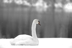 Blending in with snow (HOW () Tags: winter seagulls snow canon swan ducks howd oaklandlake 135mmf2 oaklandgardens 5dmiii howardlaudesign