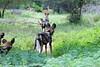 Wild dog hunting (Arno Meintjes Wildlife) Tags: africa park camp wallpaper holiday color art nature animal animals closeup southafrica bush wildlife safari explore endangered predator animalplanet mammalia rsa krugernationalpark mpumalanga krugerpark carnivore africanwilddog birdwatcher excellence big5 wilddog naturelovers knp lycaonpictus sanparks naturesfinest africanhuntingdog painteddog capehuntingdog naturescall spotteddog flickrsbest paintedhuntingdog meintjes paintedwolf wildehond colorphotoaward arnomeintjes naturewatcher internationalgeographic naturesgreenpeace ornatewolf