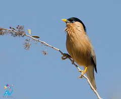 Brahminy Starling - Sturnia pagodarum (Aravind Venkatraman) Tags: morning india bird birds nikon indian birding starling 300mm national dslr aravind birdwatching f4 birder nationalgeographic birdphotography 14tc brahminy nikondslr birdsindia indiabirds incredibleindia indianbirds brahminystarling temenuchuspagodarum pagodarum birdphotographer dslrnikon nikon300mmf4 sturnia avphotography nikon14tc d7000 sturniapagodarum nikond7000 talchappar d7000nikon aravindvenkatraman