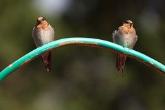 Welcome Swallows 2013-02-10 (_MG_0256) (ajhaysom) Tags: australia lorne australianbirds welcomeswallow hirundoneoxena lemonadecreekcottages