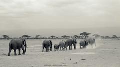 Family of African elephants | Kenya (Tamara Photography) Tags: africa blackandwhite elephant nature animal landscape kenya wildlife amboseli masaimara specanimal blinkagain bestofblinkwinners blinksuperstars bestofsuperstars