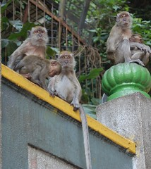 Macaque Family (clear_eyed_man) Tags: monkey malaysia kualalumpur batucaves macaque