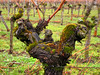 Vineyard - Gnarled Grapevine with Moss (Batikart) Tags: wood old winter plants brown mountain green nature wet berg field grass closeup rural canon germany landscape geotagged outdoors deutschland droplets vineyard moss drops wire flora iron europa europe seasons wine alt details hill natur tranquility vine row line textures growth vineyards rows trunk gnarly gras recreation february agriculture relaxation ursula holz landschaft twisted moos grapevine nahaufnahme freshness stake wein weinberg sander g11 fellbach weinstock badenwürttemberg verdreht knorrig 100faves 2013 coldtemperature viewonblack batikart canonpowershotg11