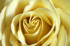 Golden rose (zoej1983) Tags: beautiful rose soft pretty centre yellowrose delicate rosepetals flowerpetal