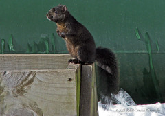 black squirel 2-12-13 B (sw_bobster) Tags: squirel