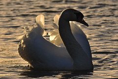 Swan under sunset light! (Capelle Panda -- try to catch up) Tags: swan  theworldwelivein