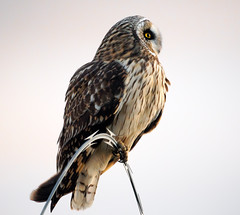 Short-Eared Owl at Vancouver Airport (TOTORORO.RORO) Tags: winter sunset portrait panorama canada color reflection bird nature animal vancouver fence lens island mirror reflex airport bc britishcolumbia sony profile richmond mount adapter owl translucent alpha yvr 500mm f8 nationalgeographic goldeneye ionabeach seaisland ionaisland nex greatervancouver shortearedowl asioflammeus vancouverinternationalairport mirrorless sal500f80 nex6 laea2