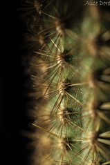 Cactus (Al 8574) Tags: cactus plant macro closeup cacti sussex westsussex ngc spine needles spikes loxwood alicedore