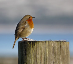 cold feet (glenfinlas) Tags: winter bird robin scotland erithacusrubecula islay