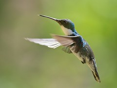 White-throated Hummingbird (Leucochloris albicollis) (PeterQQ2009) Tags: brazil birds beijaflordepapobranco whitethroatedhummingbird leucochlorisalbicollis