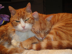 two gingers, late night (Philip Watson) Tags: orange cats night ginger latenight asleep