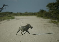 Etosha National Park Namibia (guido.menato) Tags: africa park safari national namibia etosha warthog