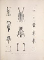 n186_w1150 (BioDivLibrary) Tags: birds anatomy bones smithsonianinstitutionlibraries bhl:page=41399073 dc:identifier=httpbiodiversitylibraryorgpage41399073