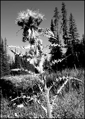 Thistle in DuoTone (greenthumb_38) Tags: canada reunion rockies canadian alberta 2012 canadianrockies jeffreybass august2012 moseankoreunion